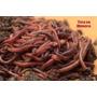 150 Minhocas Vermelhas Californianas + Curso Minhocultura