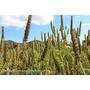 100 Sementes De Chia Para O Plantio