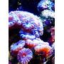 Corais Marinhos - Diversas Mudas A Preços Incríveis