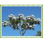 100 Sementes Embaúba Prateada, Imbaúba (cecropia Hololeuca)
