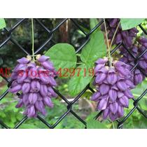 10 Sementes De Trepadeira Jade Roxa Exotica
