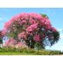 Sementes De Paineira Rosa Para Mudas Ou Árvore