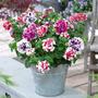 Petunia Pirouette Dobrada Sortida Sementes Flor Para Mudas