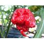 30 Sementes D Pimenta Trinidad Scorpion.fretes Gratis-br