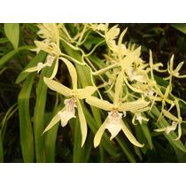 Orquídea - Miltonia Flavescens