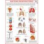 Mapa Do Sistema Respiratório Humano - Pulmões - Frete Grátis