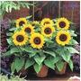 25 Sementes De Girassol Plante Em Vasos-frete Grátis