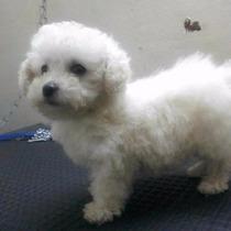 Promoção Poodle Mini Toy