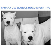 Dogo Argentino Filhotes Macho