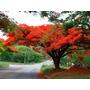 Sementes Flamboyant Vermelho Delonix Regia Bonsai P/ Mudas