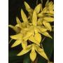 C Orquídea Cattleya Aurantiaca ´mayami X Self 18 Cm