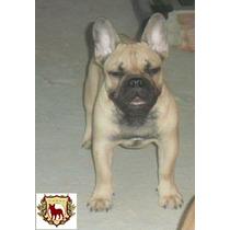 Filhote Bulldogue Francês
