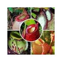 25 Semente Planta Carnívora Nepenthes+ Brinde