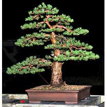 10 Sementes Bonsai Pinheiro Pinus Sylvestris Pinos P/ Mudas