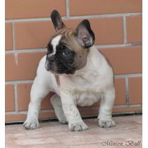 Bulldog Frances Macho Blue Gen Excelente Filhote