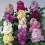 150 Sementes Flor Goivo Imperial Dobrado Sortido Fretegrátis