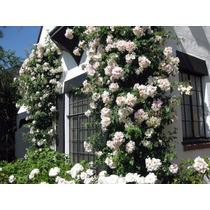 Rosa Trepadeira Branca Sementes Flor Mudas