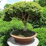 Curso - Aprenda A Cultivar Bonsai