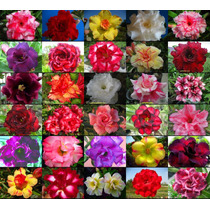 10 Sementes Rosa Do Deserto Mix Adenium Obesum 30+cores Muda