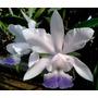 Cattleya Walkerinter Coerulea - Adulta