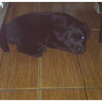 Filhote De Labrador Fêmea Na Cor Preta De Excelente Linhagem