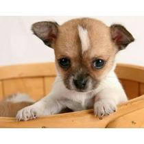 Chihuahua Prontos Para Serem Entregues