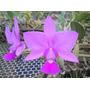 Orquidea Cattleya Walkeriana Tipo - Corte Planta N3001