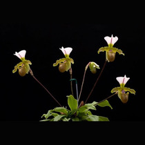 Muda De Orquídea Paphiopedilum Sapatinho,fácil Cultivo