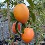 Sementes De Maracujá Doce Fruta