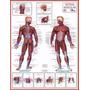 4 Mapas Do Corpo Humano Enrolados 120x90cm - Anatomia Humana