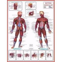 4 Mapas Do Corpo Humano 120x90cm Enrolados. A Sua Escolha.