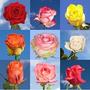Rosas Exoticas E Coloridas Kit 40 Sementes - 20 Cores