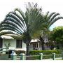 Lote Palmeira Triangular Com 100 Mudas - Cerca De 1,2 Metro