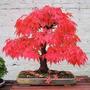 Acer Palmatum Vermelho Árvore Bonsai 10 Sementes