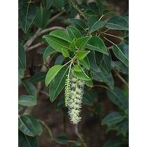 Ombu Bela Sombra - Bonsai - Árvore - Sementes Para Mudas