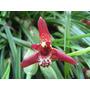 C Orquídea Maxillaria Tenuifolia Adulta Já Floresce