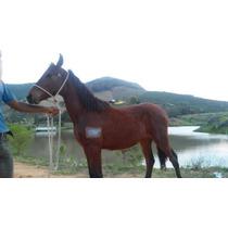 Mangalarga Marchador Potro Registro Prov 9 Meses,santa Lúcia