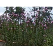 3 Mudas Da Orquídea Terrestre Arundina Lilas