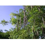 Moringa Oleifera 500 Sementes Mais Brinde Frete Gratis