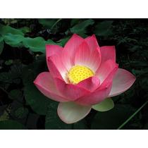 Sementes Flor De Lotus Nelumbo Nucifera Rosa Aquatica Mudas