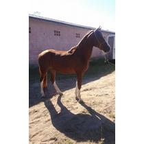 Vende-se Cavalo Quarto De Milha/manga