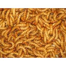 1100 Larvas Tenebrio Molitor + Pote De Cálcio Brinde