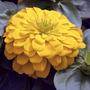 Zinnia Canary Bird - Flor - Sementes Para Mudas