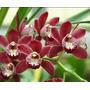 Orquídeas Cymbidium Pequeno Marrom Com Haste De Flores