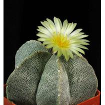 100 Sementes Cactos Astrophytum Myriostigma - Com Garantia