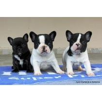 Filhotes Machos De Bulldog Francês