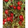 15sementes Romã Gig@nte Turkey Pomegranate Fruta P/ Mudas
