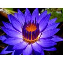 5 Sementes De Lotus (rosa Dos Lagos)+brinde