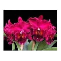 C Orquídea Cattleya Blc. Chia Lin ´new City´ Adulta