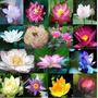 8 Sementes Flor De Lotus - Mix + Frete Grátis